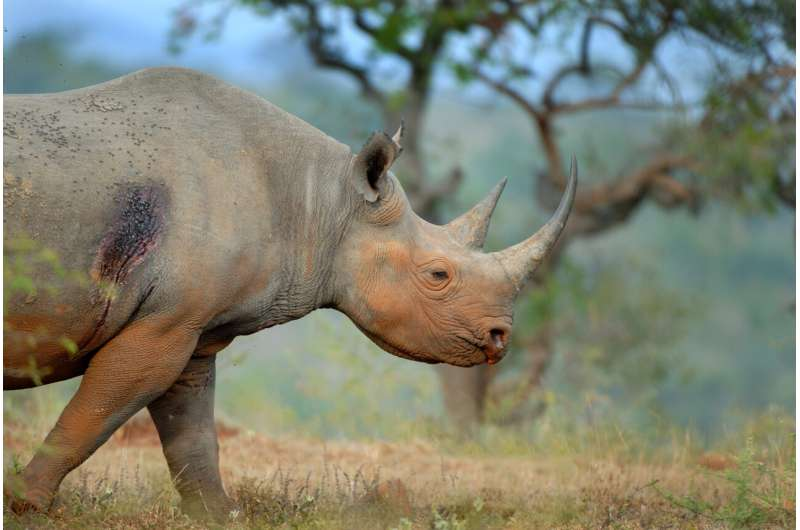 Black rhinos eavesdrop on the alarm calls of hitchhiking oxpeckers to avoid humans