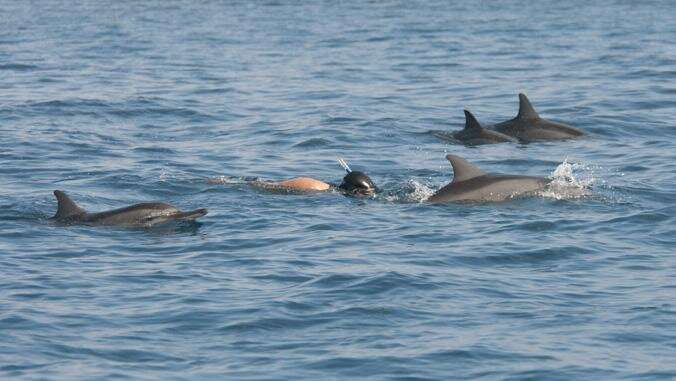 Dolphin viewing more profitable than swimming in UH research
