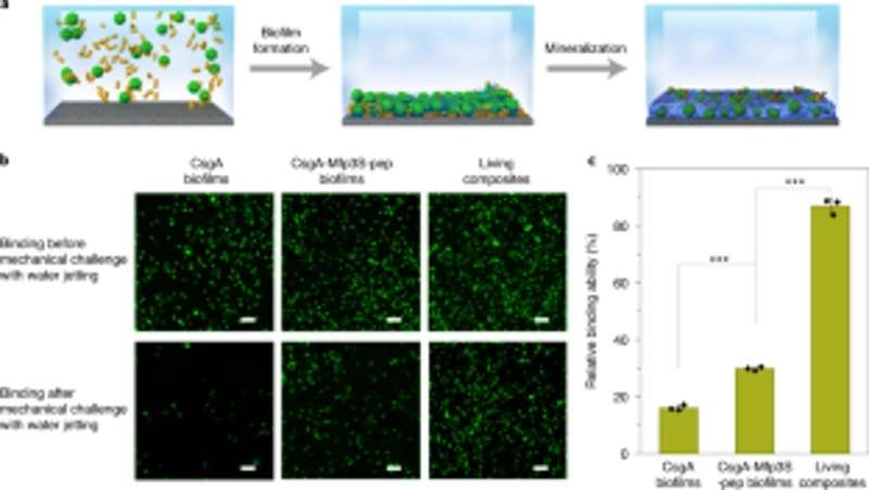 Engineering light-responsive E. coli functional biofilms as scaffolds for HA mineralization.