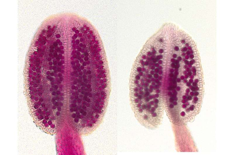Newly identified gene reduces pollen number of plants