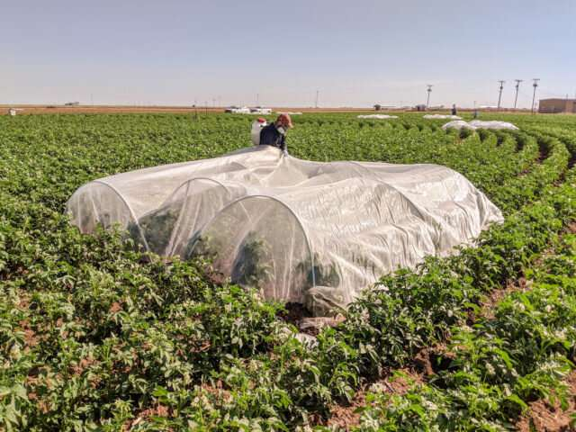 Potato study uses irrigation system feedback to distinguish between thirst and disease