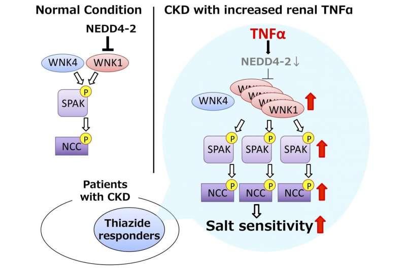 Researchers link immune system to salt-sensitive hypertension in CKD