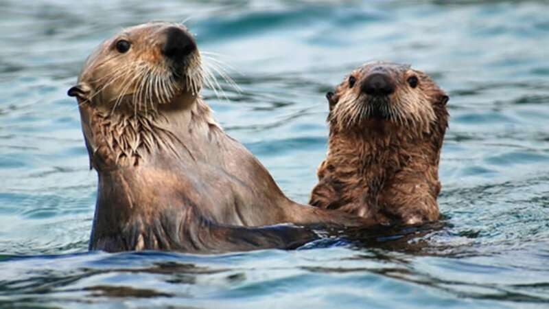 Study explores how Native Americans used sea otters