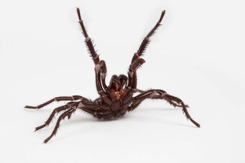 Toxic masculinity: Why male funnel web spiders are so dangerous