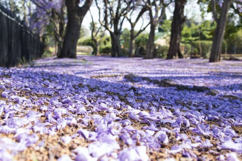 Why there's a lot more to love about jacarandas than just their purple flowers