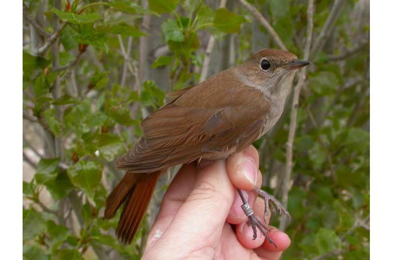 Climate change may be making migration harder by shortening nightingales' wings