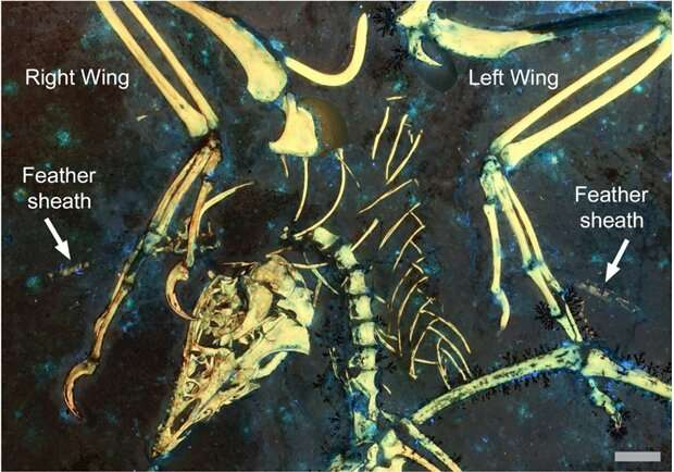 Research reveals earliest flight-related moulting strategy in 150-million-year ancient bird