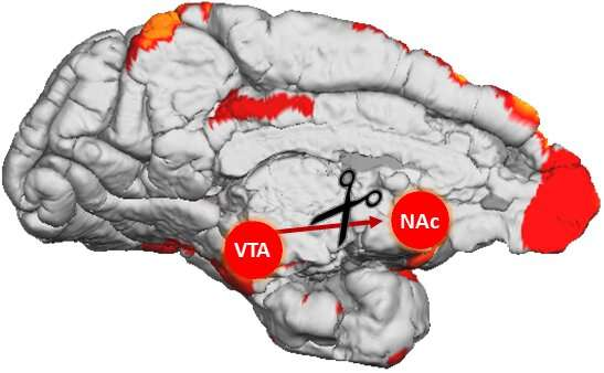 Researchers reversibly disable brain pathway in primates