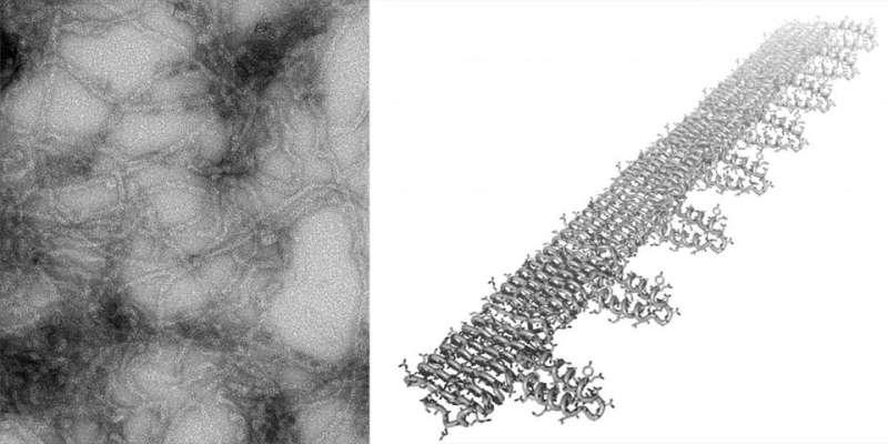 Researchers adapt amyloid technology to catch coronavirus