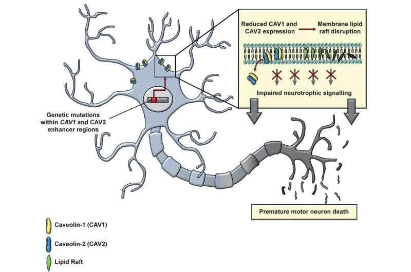 Scientists identify new genetic MND risk factor in junk DNA