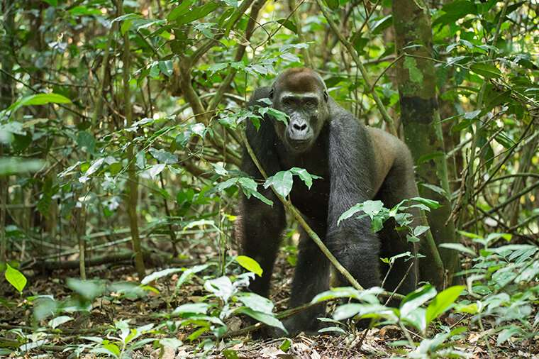 Close encounters in the forest: Western lowland gorillas