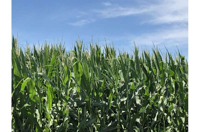 Making sense of a universe of corn genetics