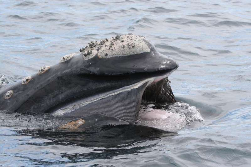 Plastic found in southern right whale in Argentina