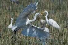 Protected areas help waterbirds adapt to climate change