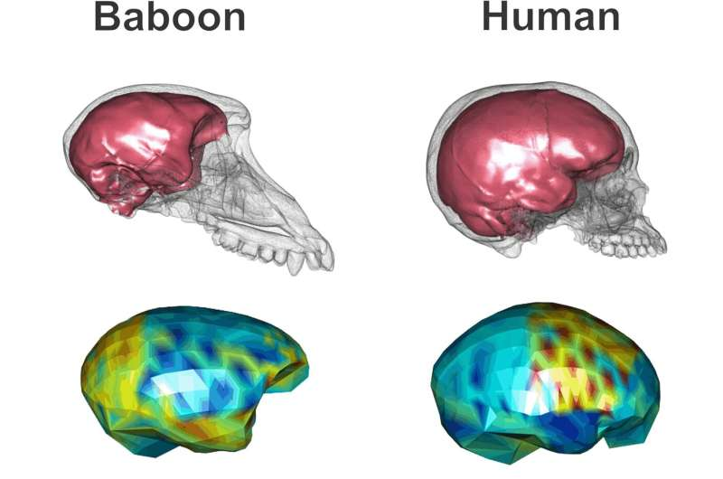 The human brain: not just large but finely shaped