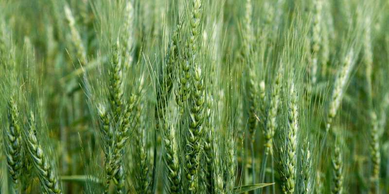Unraveling the mystery of wheat herbicide tolerance