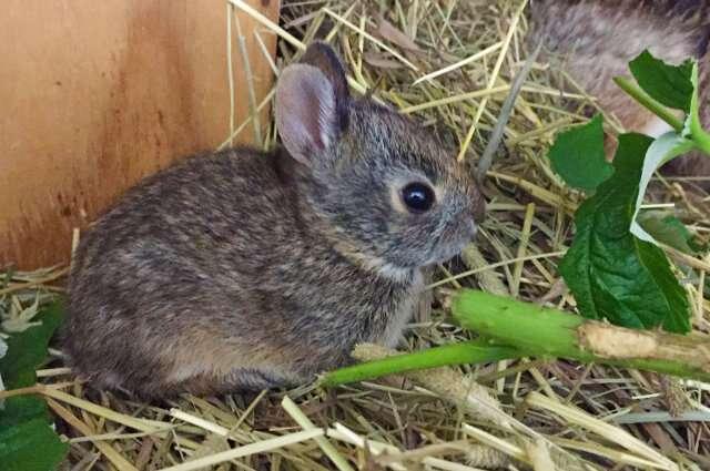 Veterinarians urge pet owners to prepare for the arrival of rabbit hemorrhagic disease