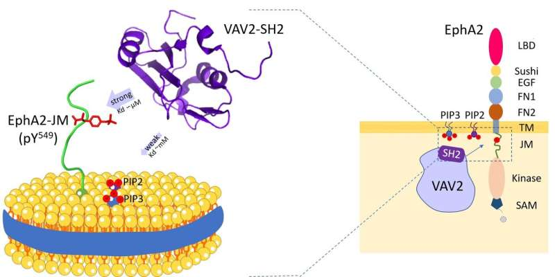 Scientists reveal dual specificity of Vav2-SH2 protein