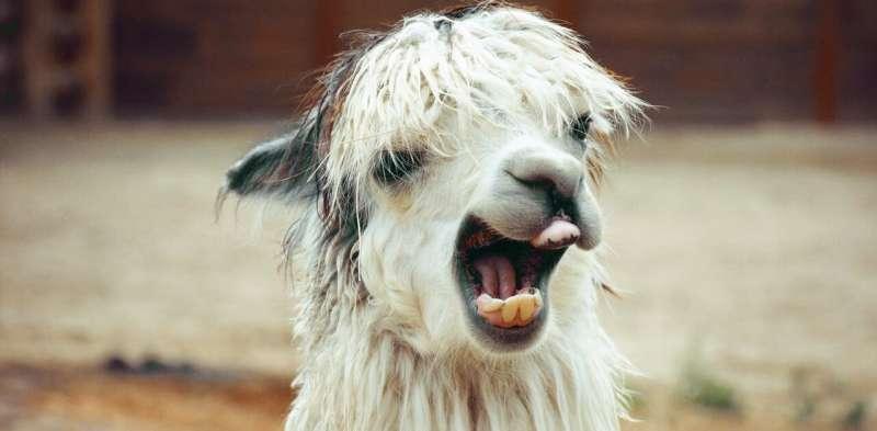Coronavirus: why we're using llamas to help fight the pandemic