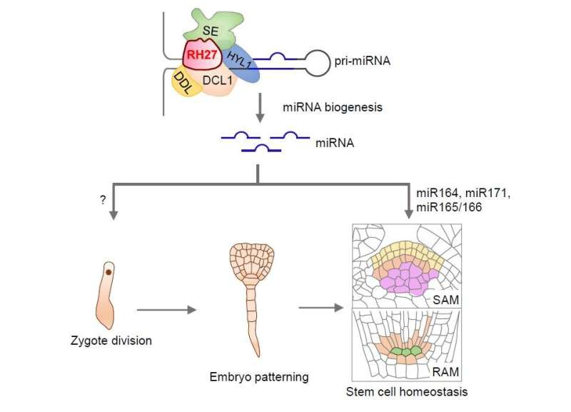 Scientists reveal role of RNA helicase in zygote activation and stem cell homeostasis in pants