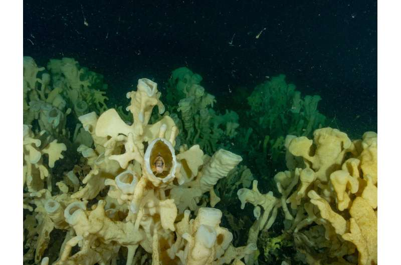 Climate change an imminent threat to glass sponge reefs