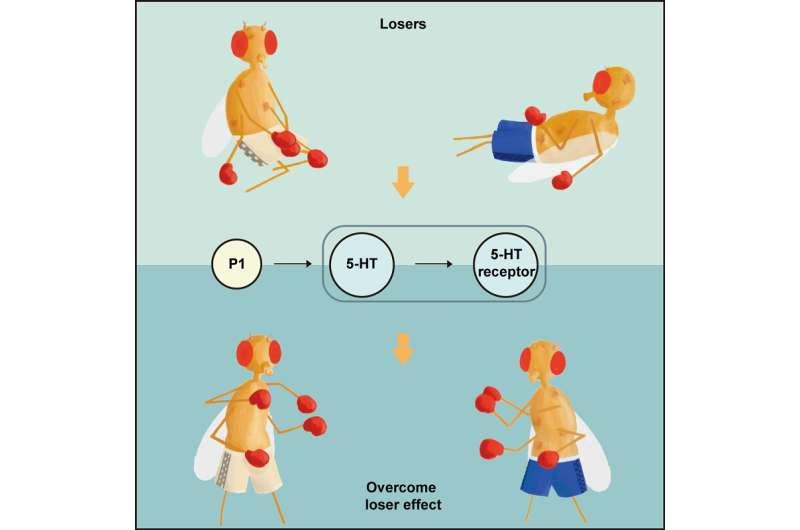 "Researchers reveal serotonin signals' role in reversing ""loser effect"" mechanism"