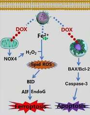 A new strategy to trigger ferroptosis in target cancer cells using drug-metal coordination complexes