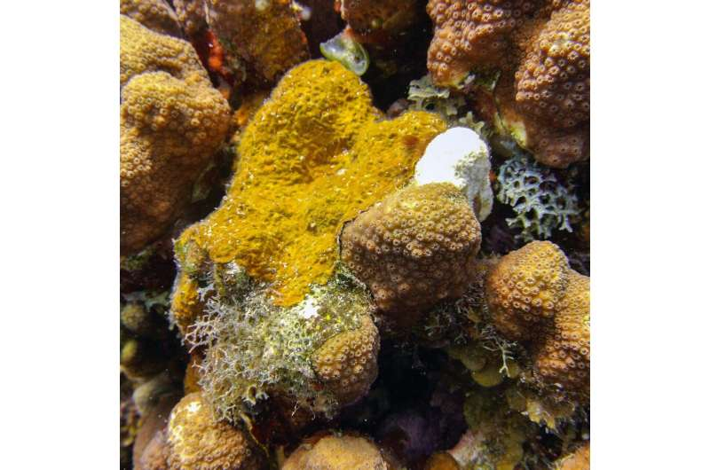 Caribbean coral reefs under siege from aggressive algae