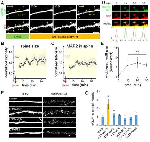 Discovery of a novel function for MAP2 in synaptic strengthening