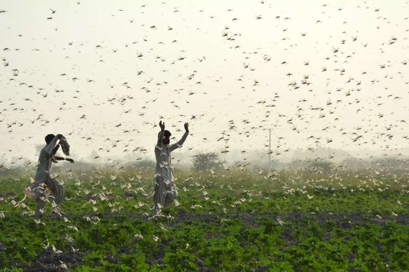 Record numbers of locusts have descended in devastating swarms across parts of Africa and Asia this year