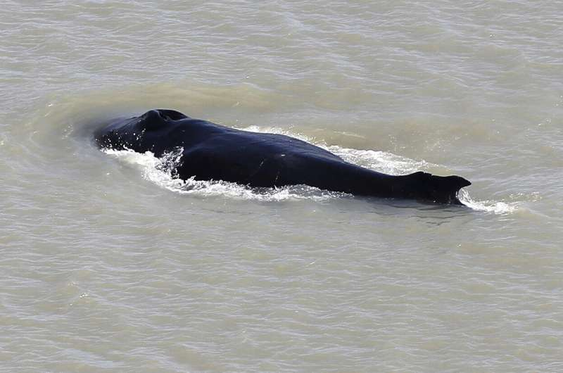 Whale swims free of Australian river as 270 are stranded