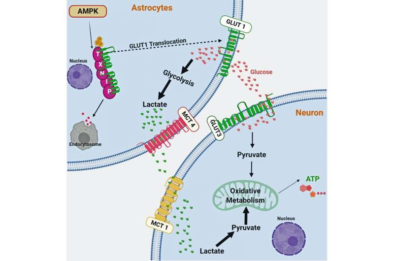 Scientists discover key regulator of neuron function and survival