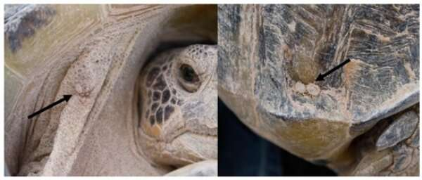 Researchers identify bacteria that can make the Bolson tortoise ill