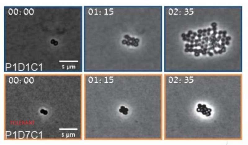 Researchers report brief treatment window for controlling aggressive bacteria