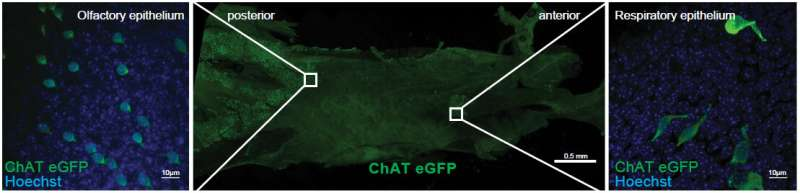 Brush cells in the nose found to secrete proinflammatory lipids
