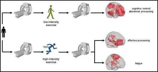 High and low exercise intensity found to influence brain function differently