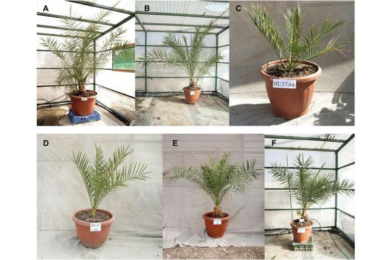 Scientists grow date palm plants from 2,000-year-old seeds
