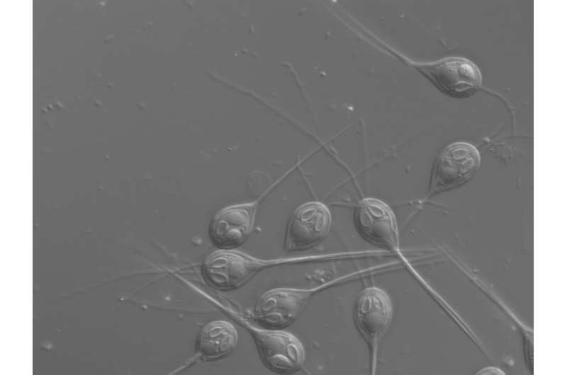 Microscopic parasite found to have no mitochondrial DNA