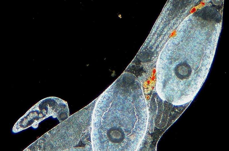 Parasitic worms have armies, and produce more soldiers when needed