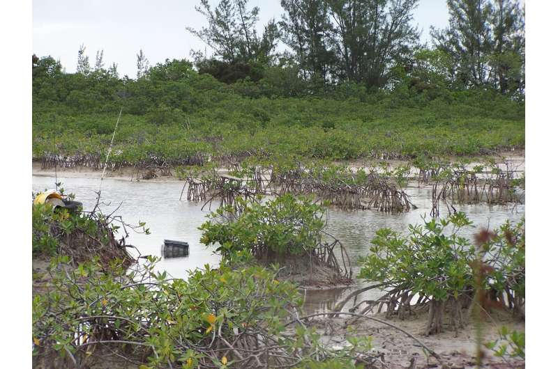 Super-urinators among the mangroves: Excretory gifts from estuary's busiest fish promote ecosystem health