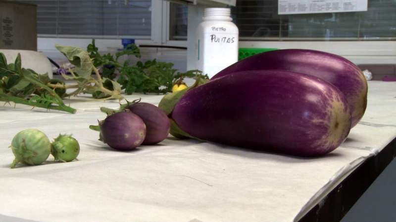 New eggplant varieties resistant to extreme conditions