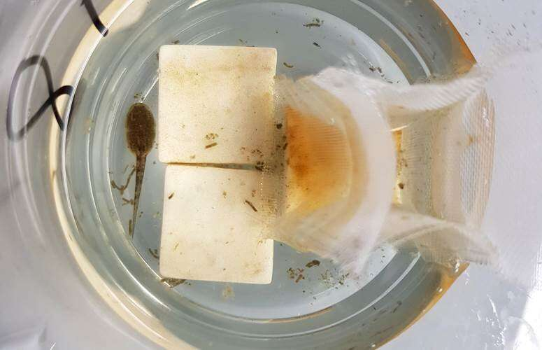 Microplastics affect the survival of amphibians and invertebrates in river ecosystems