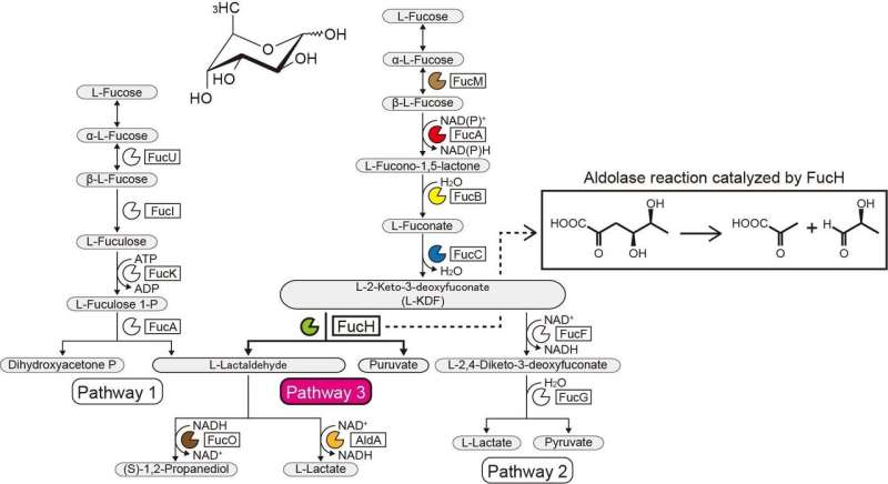 A novel L-fucose metabolic pathway from strictly anaerobic and pathogenic bacteria