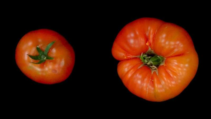 Gene switch ENO identified as a tomato fruit regulator