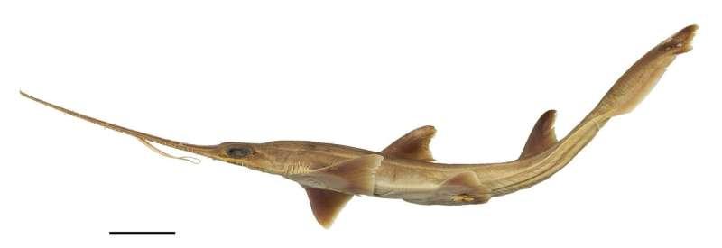Brand new shark(s), doo doo, doo doo doo doo