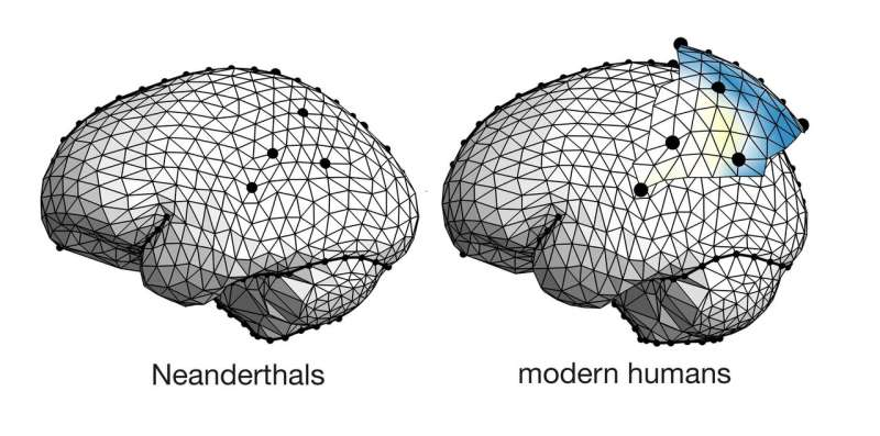 A study compares the parietal lobes in Neanderthals and modern humans