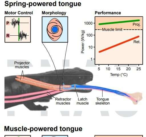 Minor evolutionary changes helped transform the salamander tongue into a fast elastic recoil mechanism