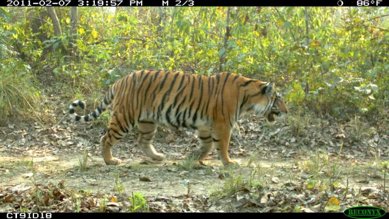 Thousands of miles of planned Asian roads threaten the heart of tiger habitat