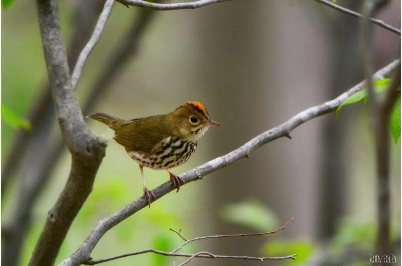 Invasive shrub has no effect on prey abundance or physiological condition of migratory songbird
