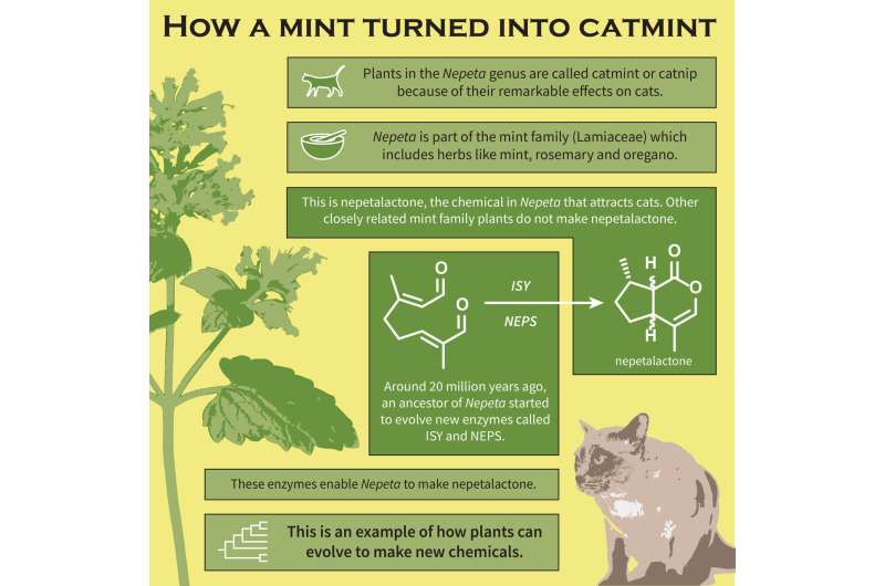 How a mint became catmint